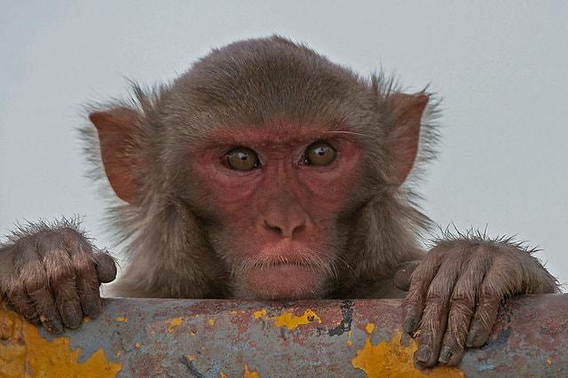 Le capacità matematiche dei primati