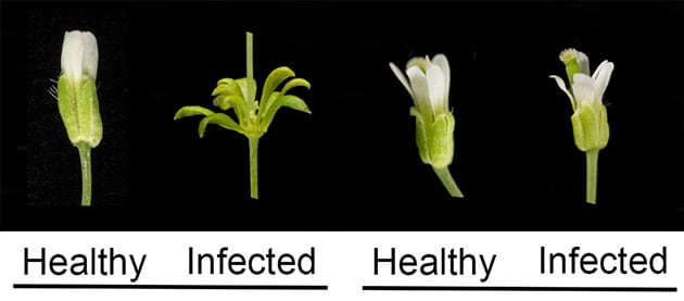 Il batterio che trasforma le piante in zombie