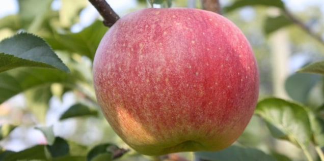 Scienziati creano la mela frizzante (video)