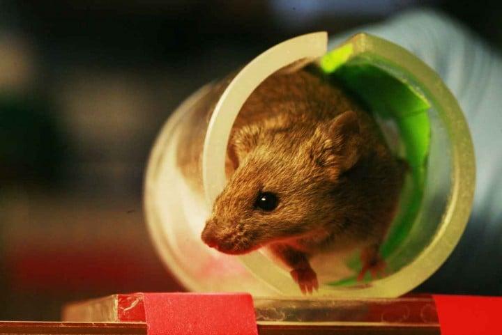 Topi super intelligenti grazie all'impianto di cellule cerebrali umane