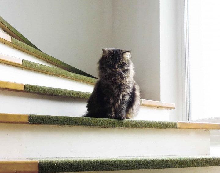 gatto scale evf