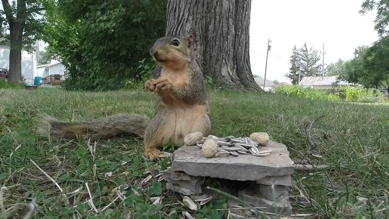 Uno scoiattolo incontra una GoPro...e guardate che succede (video)