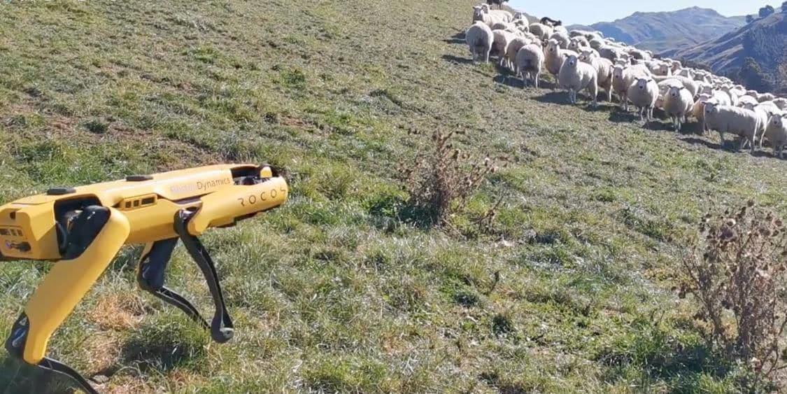Il piccolo Spot di Boston Dynamics è diventato anche un cane da pastore (video)